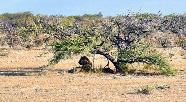 Eine Löwendame im Etosha Nationalpark