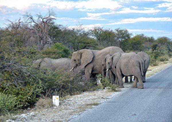 Elefantenrunde nach der Bundestagswahl im Etosha Nationalpark
