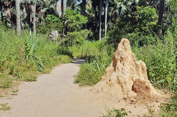 Termitenhügel im Bijilo Nationalpark