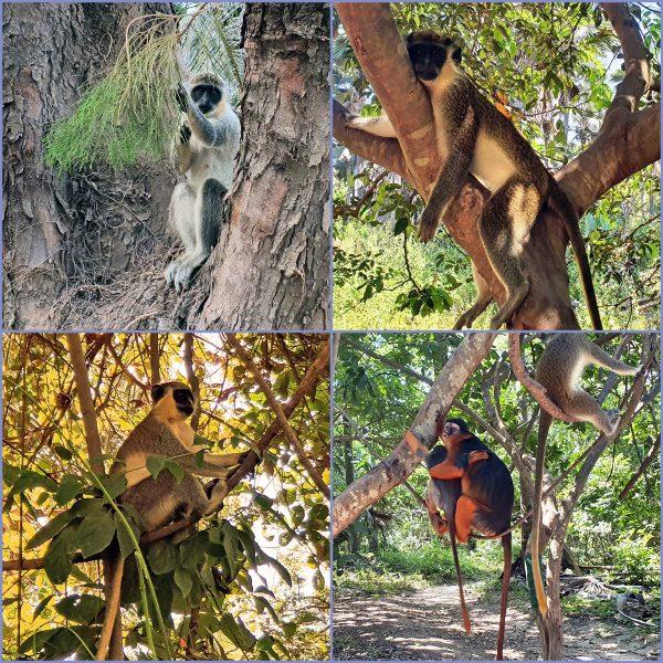 Äffchen im Bijilo Nationalpark
