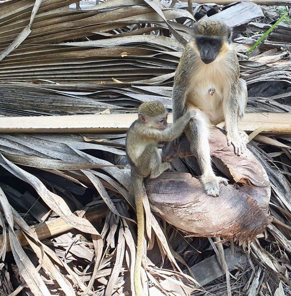 Affen-Mami mit Kind im Bijilo Nationalpark