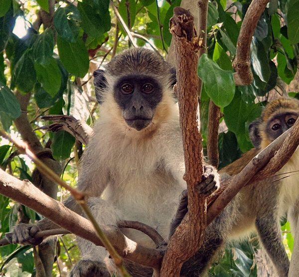 Ein Affe im Bijilo Nationalpark