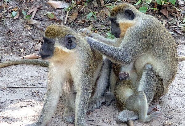 Affenputzen im Bijilo Nationalpark
