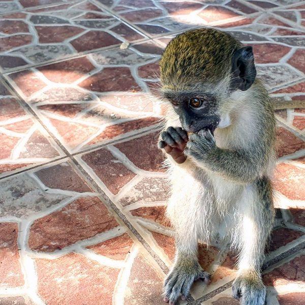 Ein hungriger Affe im Kairaba Beach Hotel
