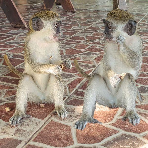 Hungrige Affen-Zwillinge im Kairaba Beach Hotel