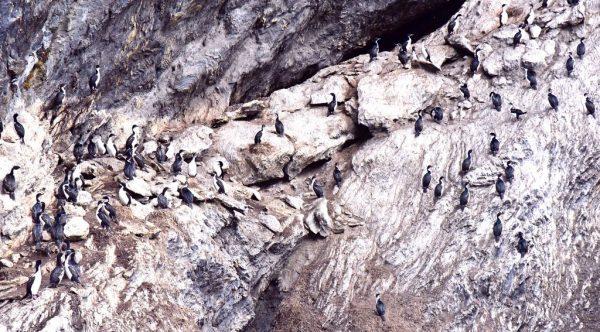 Kormorane im Garibaldi Gletscher