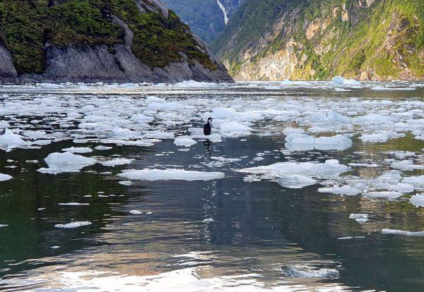 Ein Kormoran im Garibaldi Gletscher