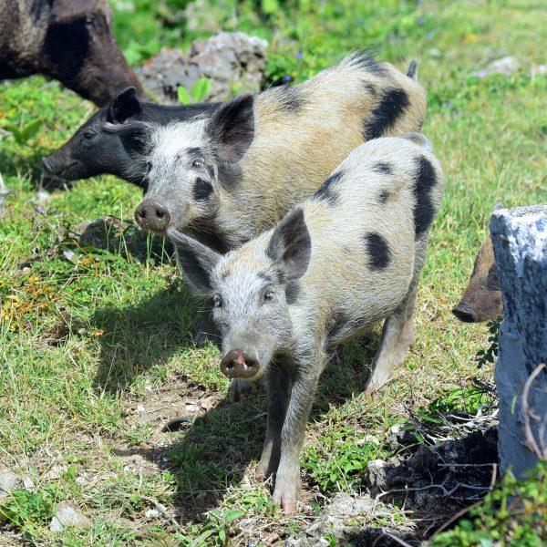 Schweinchen am Leuchtturm Faro Roncali, Halbinsel Guanahacabibes