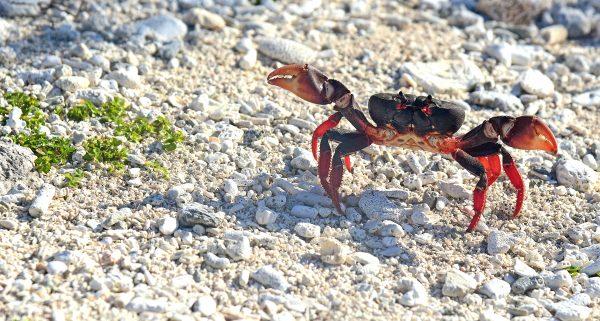 Rote Krabben-Invasion auf der Halbinsel Guanahacabibes