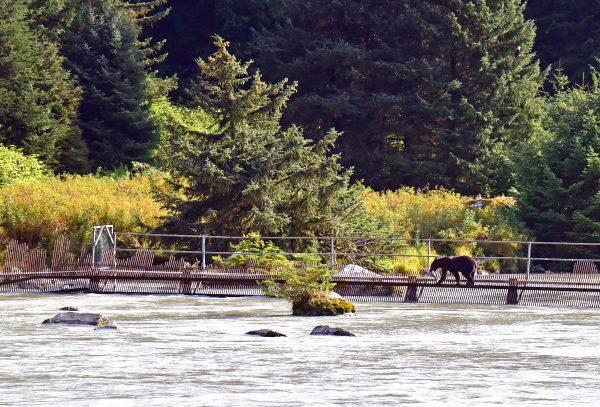 Ein Bär am Chilkoot River, in der Nähe von Haines