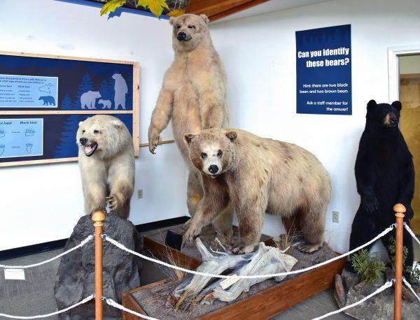 Bären in der American Bald Eagle Foundation in Haines