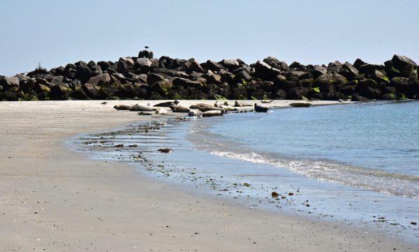 Seehunde vor Helgoland