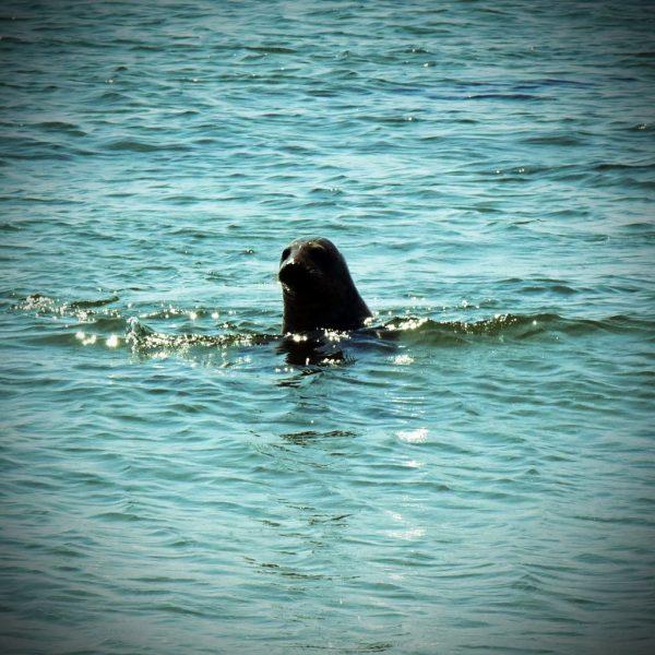 Ein Seehund vor Helgoland
