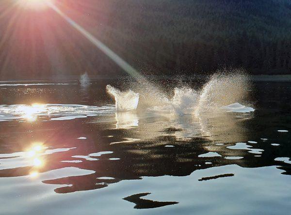 Wal-Bild ohne Wal nahe dem Icy Strait Point