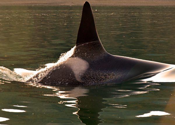 Orca nahe dem Icy Strait Point