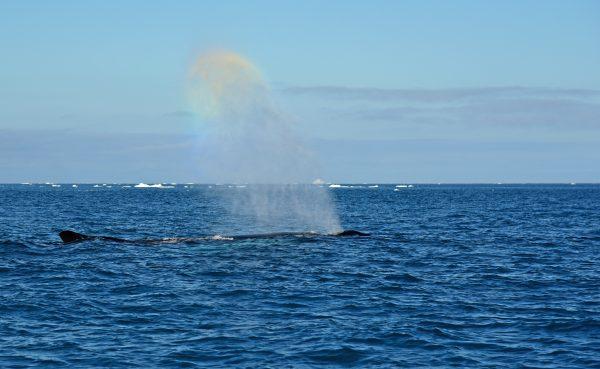 Ein Wal im Eisfjord von Ilulissat