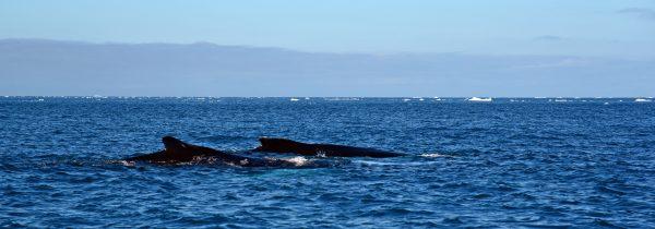 Zwei Wale im Eisfjord von Ilulissat