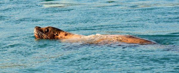 Ein Stellerscher Seelöwe nahe den Inian-Inseln