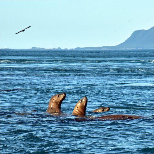 Stellerscher Seelöwen nahe den Inian-Inseln