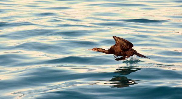 Die Vogelwelt der Inian-Inseln