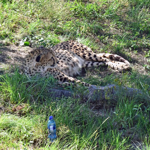 Ein Gepard im Lion und Safari Park