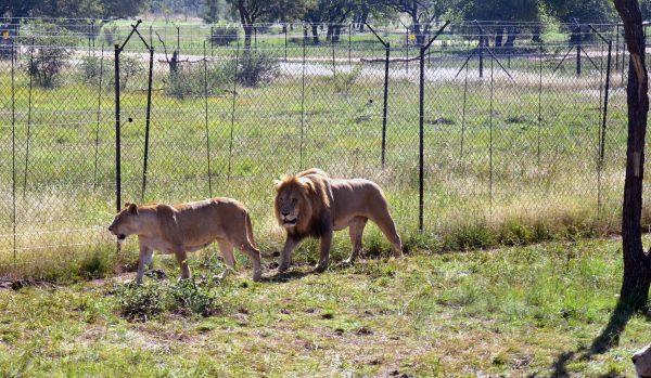 Löwen im Lion und Safari Park