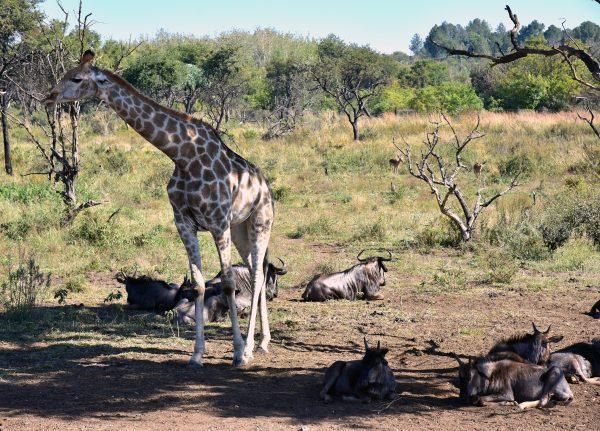 Giraffe und Gnus im Lion und Safari Park