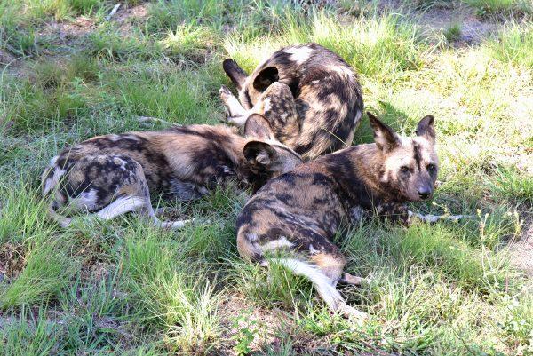 Wilde Hunde im Lion und Safari Park