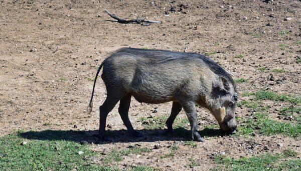 Ein Warzenschwein im Lion und Safari Park