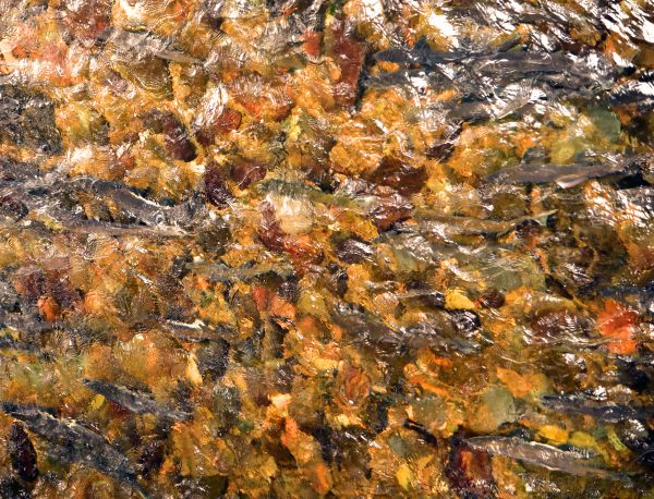 Lachse ziehen durch Ketchikan