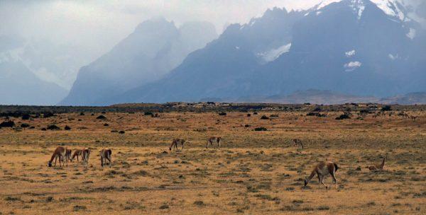 Guanakos im Torres del Paine Nationalpark