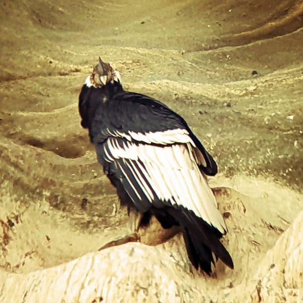 Ein Kondor vom Teleskop aus gesehen
