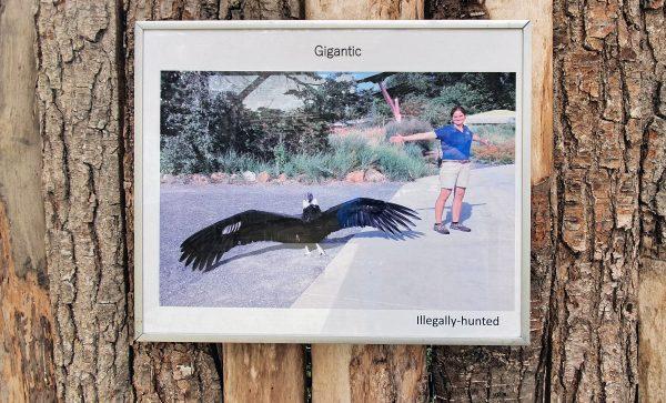 Ein Kondor-Gigant