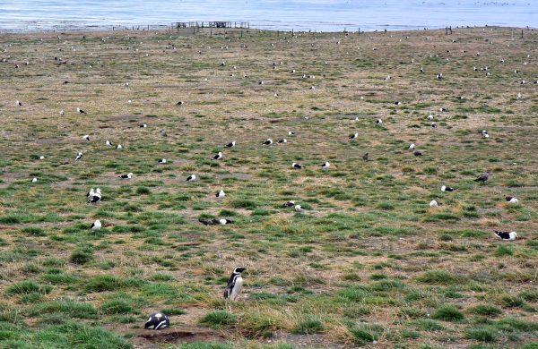 Pinguine auf der Insel Magdalena