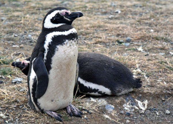Magallan-Pinguine auf der Insel Magdalena