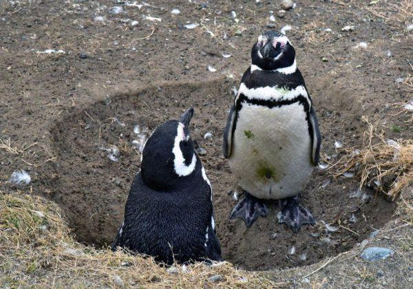 Pinguine in zwei Meter Abstand auf der Insel Magdalena