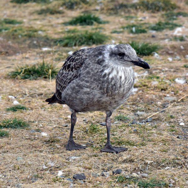 Kein Pinguin auf der Insel Magdalena