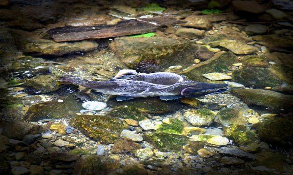 Ein Lachs in den Wäldern von Sitka
