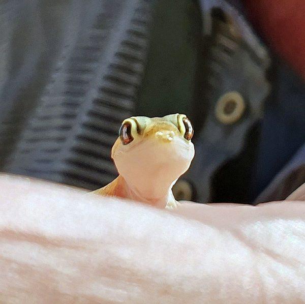 Zinni und sein Palmato-Gecko / Sandwich Harbour