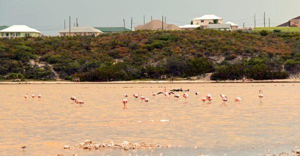 Flamingos auf Grand Turks
