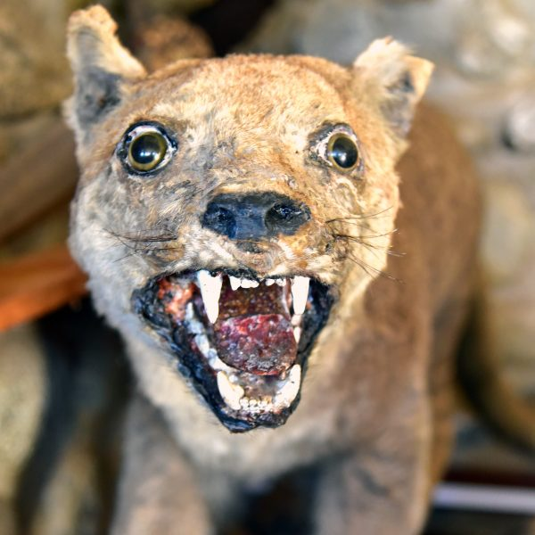 Ein Puma im Julio Munizaga Museum