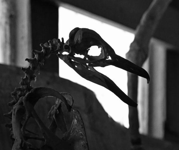 Ein Skelett im Julio Munizaga Museum