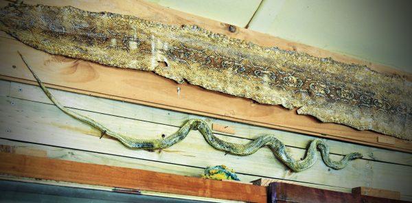 Eine Schlange im Julio Munizaga Museum