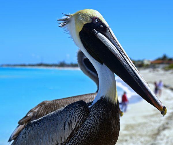 Ein Pelikan in Varadero